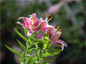 自己栽的百合花开了,漂亮请点赞