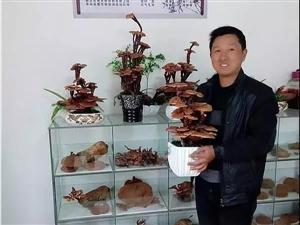 灵芝大王陈希斌