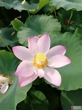 荷花朵朵开,笑靥为你来;相约旺山村,美景心中留