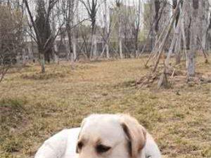 个人家养拉布拉多幼犬