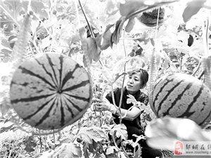 一处现代农业示范园区的大棚内西瓜。