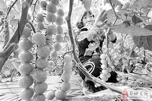 一处现代农业示范园区大棚内水果西红柿。