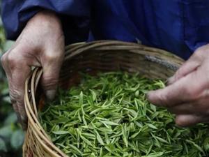 �l酵茶�多,那么白茶�儆诎l酵茶�幔�