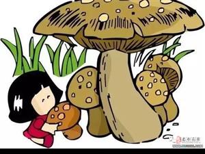 一朵就是一箩筐!建水发现一朵大大大大大大菌子!还能吃?!