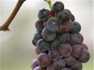 筠连巡司的无核葡萄竟是这样种植成熟的!吃货们必须得看看!