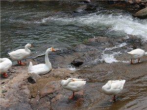 农家散养大白鹅草鹅土鹅