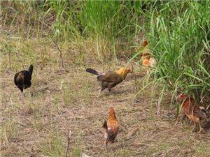 散养仔鸡,童子鸡,草鸡,小公鸡