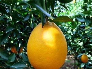 纽荷尔脐橙