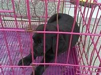 5月3号在红苏路与陈元光大道交叉口丢失一只黑色拉布拉多幼犬,希望捡到小狗的人家能联系我,必重谢!