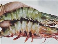 現僅需15元搶購原價29.9元/只渤海灣對蝦,速搶!