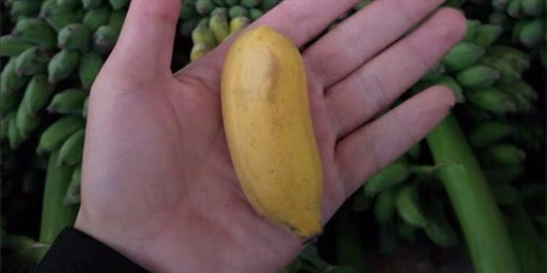 攀枝花小米蕉直供,5斤35元城区包送到家!!!