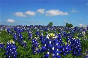 泸州周边去看花:薰衣草、蜀葵花、高山杜鹃……