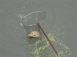 自贡部分河段出现大面积野生鱼浮头