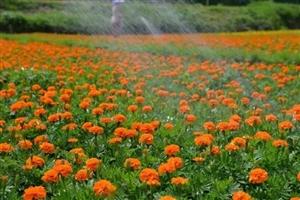 麻江的花海――龙山镇孟江花卉基地
