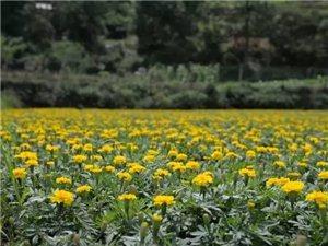 在麻江,你去�^��山的花田�幔扛�我�硪黄鹂纯�