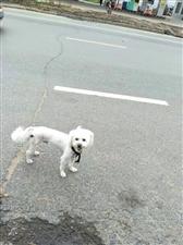二厂宿舍楼救助的狗狗,疑似与主人失散~