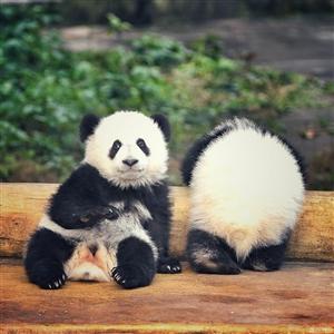 """为什么大熊猫只有""""黑白照"""""""