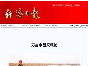杨湾镇:万亩水面采藕忙