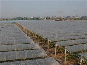 杨湾丰乐村:发展蔬菜产业