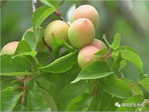 又是一年青梅季,揭阳坪上的果子正当时!