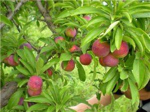 求购:桃子树或李树苗,知道哪里有卖的朋友麻烦告知一下,谢谢!