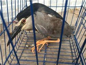 稀奇!宜宾市民捡到粗胖嘴长的大鸟,居然是国家二级保护动物