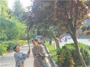 万物谢花结果尚未成熟的日子,最近阜城街头出现如此新景:三五成群,骑车提袋…………