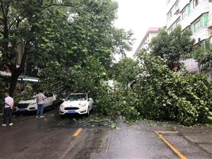 这是有多大的风....荆门路边的绿化都吹倒了!