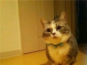 初次养猫求推荐温顺不掉毛的猫