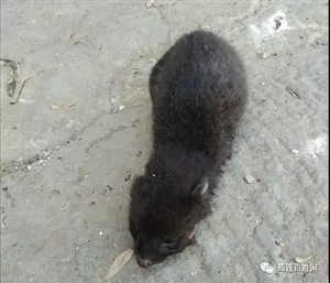 筠连有位村民在芭茅坡发现一不明野生动物,到底是啥子呢?