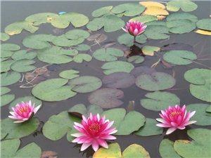 荷花满池,下午散步,走起!