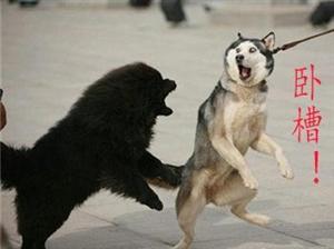 二哈和萨摩吵架,哈哈哈