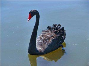 齐齐哈尔金地湖畔,天鹅湖上真的有天鹅,还是黑天鹅,施华洛世奇的感觉!!