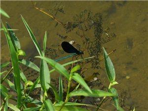 哇�@��蜻蜓好漂亮啊,身子是那�N鎏金�{的感�X,不知道是什么品�N