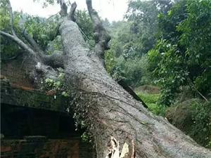 山心镇联和罗田村一棵几十年老树被台风吹倒...