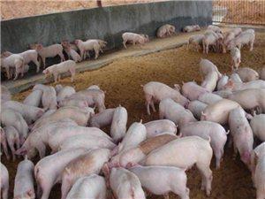 急求良种猪苗:请问那有小猪卖的,六七十斤左右,朋友有的部门介绍一下