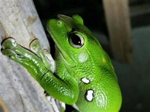 院中发现一只翠绿青蛙,据说有剧毒