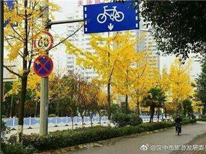 汉中滨江路银杏即将进入最佳观赏期