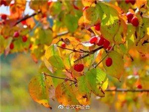 山茱萸红透了佛坪的秋天