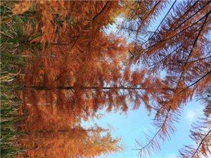 走在深秋里,这美丽的水杉,是大自然的馈赠