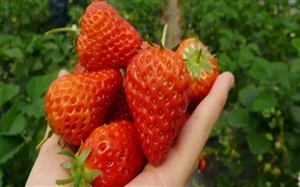哎呀!又到了摘草莓的时节,本女汉子的麒麟臂又按捺不住了!求推荐仁寿摘草莓安逸得地方