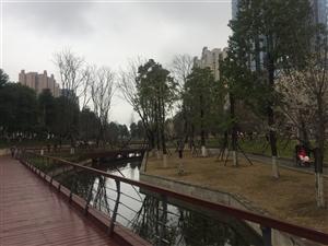 仁寿中央水体公园的樱花开了