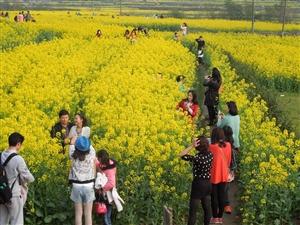 3月19日,首届湖北油菜花节开幕式将在我市举行