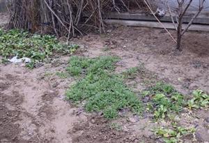 春回大地,万物复苏,而一些毒品原植物也趁...