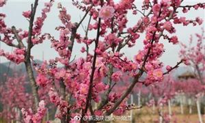 赏梅寻春正当时,威尼斯人网上娱乐平台花果山梅林暗香浮动!