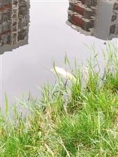 """滨州:麒麟阁小区北的沟,通往新立河的""""绿毛湖""""该如何整治?"""