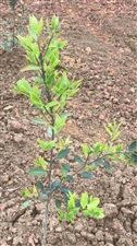 天峨有机农业体验园已栽种油茶220亩