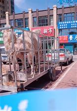 WE彩票登录惊现骆驼!还是个餐厅的主题?