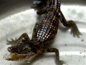 """泸州古蔺农民菜园旁惊现""""鳄鱼宝宝"""",系境内首次发现"""