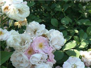 大滨州现在开的最漂亮的花!
